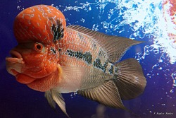 Flowerhorn The Hybrid Cichlids